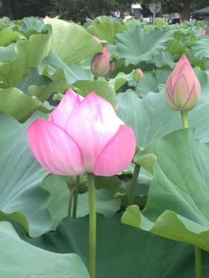 蓮の花リベンジ