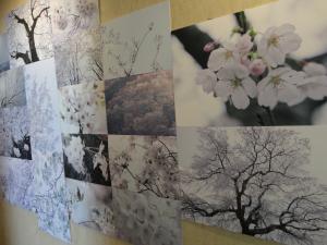 C Cubeギャラリー『桜』2013