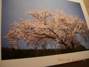 C Cubeギャラリー 『桜』